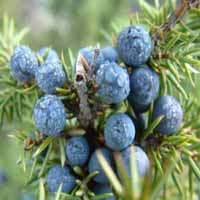 Juniperberry oil (Juniperus communis)